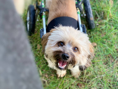 My Dog Has Wheels - Otto