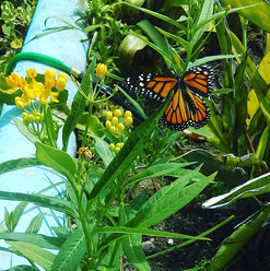 Monarch laying some eggs on a milkweed!