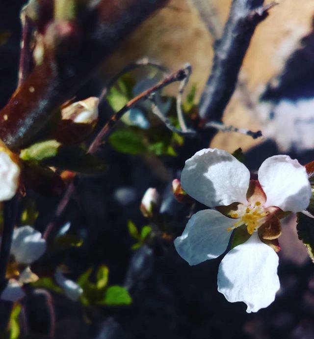 Nanking cherry blossom.jpg