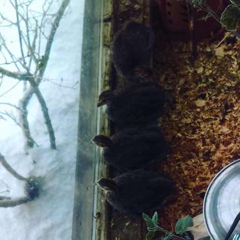 Guineas watching the snow.jpg