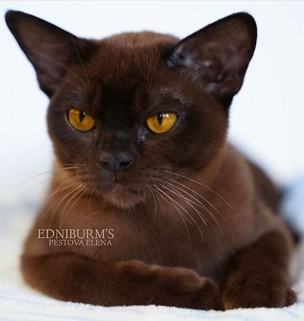бурма кот соболиный окрас питомник ednib