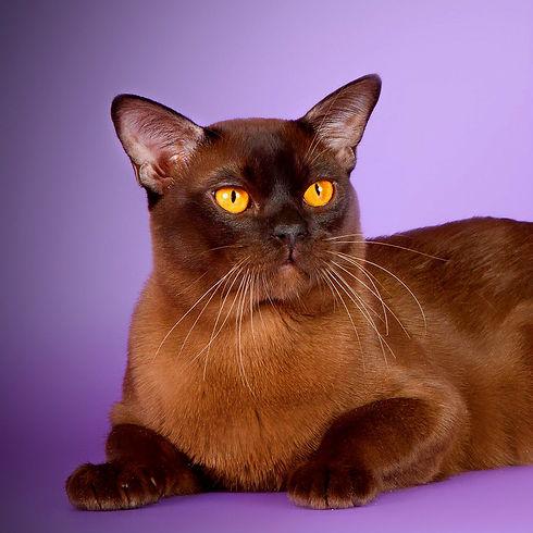 бурманский кот соболиного окраса питомник edniburms
