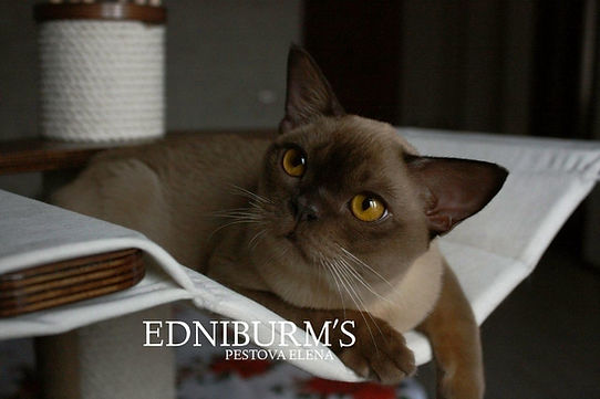 бурма шоколад кот