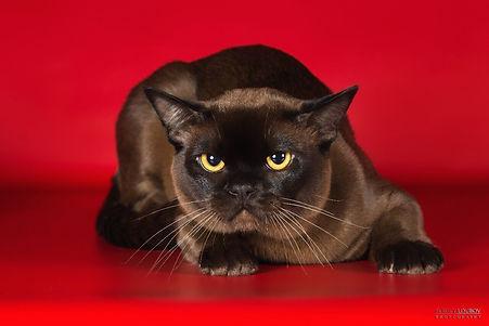соболиный кот породы бурма бурма в питомнике edniburms