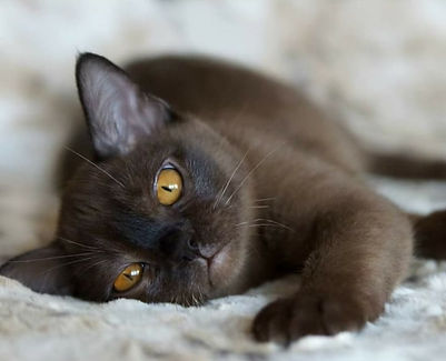 бурма кошка порода соболь окрас питомник