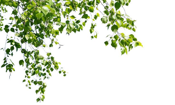 Birch_twigs.jpg