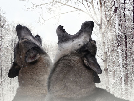 שני זאבים -אגדה אינדיאנית