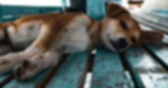 dog fleas.jpg
