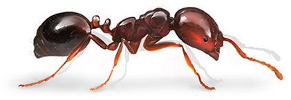 Fire Ant.jpg