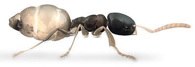 Ghost Ant.jpg