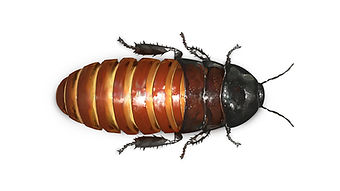 Madagascar Hissing Cockroach.jpg