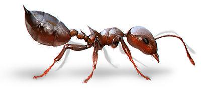 Acrobat ant.jpg