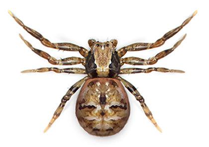 Crab Spider.jpg
