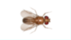 Fruit Fly.png