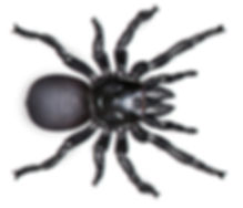 Funnel web Spider.jpg