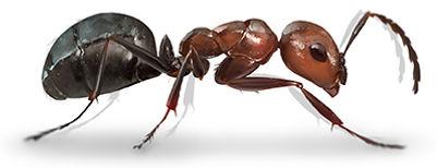 Field Ant.jpg