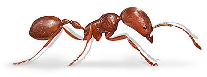 Harvester Ant.jpg