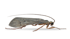 Caddis fly.png