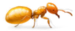 Citronella Ant.jpg