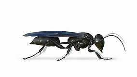 Great Black Wasp (1).jpg