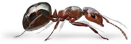 Allegheny Mound Ant.jpg