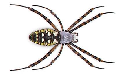 Garden Spider.jpg