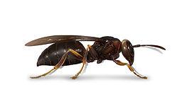Paper Wasp.jpg