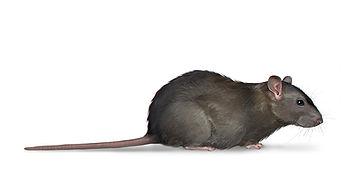 Norway Rat.jpg