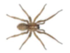 Hobo Spider.jpg