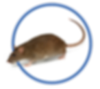 NEW Rat Icon.png