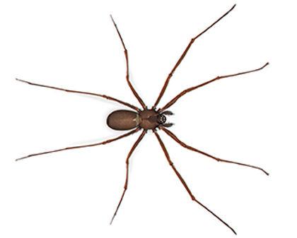 Brown Recluse Spider.jpg