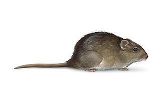 Cotton Rat2.jpg