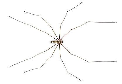 Cellar Spider.jpg