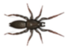 Ground Spider.jpg