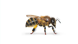Africanized Honey Bee.jpg