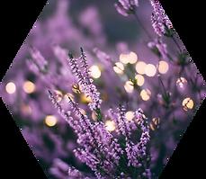 Lavendar Fairy Lights.png