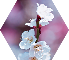 Cherry Blossoms - Hex.png