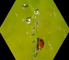 Rainy Ladybug.png
