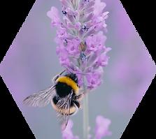 Bee on Purple Flower.png