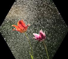 Rainy Tulips - Hex.png