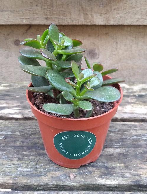 Crassula Ovata - Jade Plant