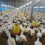 Farm pelanggan