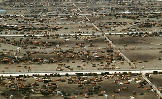 worlds-largest-feedlot-cattle-beef-feedl