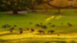 CanGooseFlock,ArboretumB&Wgodlight.jpg