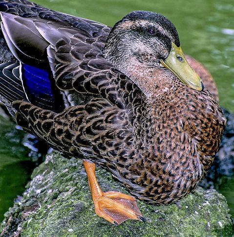 DuckPortraitStowe copy.jpg