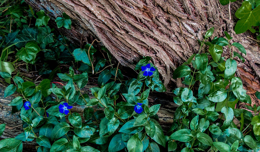 BlueFlowers,Trunk&Green.jpg