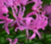 CloseupPinkFlowers, Arboretum.jpg