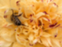HoneyBeeAtWorkOnDahliaColor2 copy.jpg