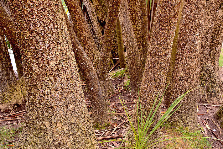 PalmTrunks,Stowe.jpg