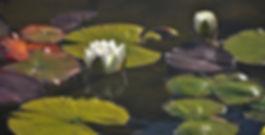 LilyPads&TwoLotusBlooms.jpg